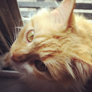 Photo of author's yellow cat